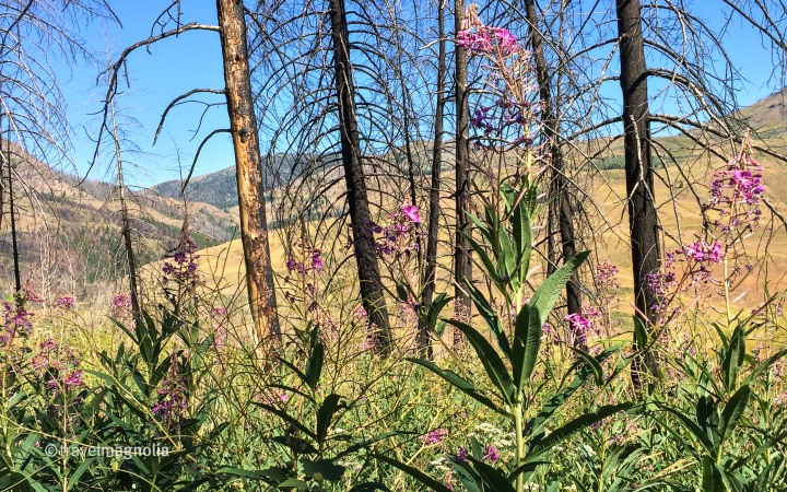 Fireweed, Wildflowers, Wildfire, Idaho