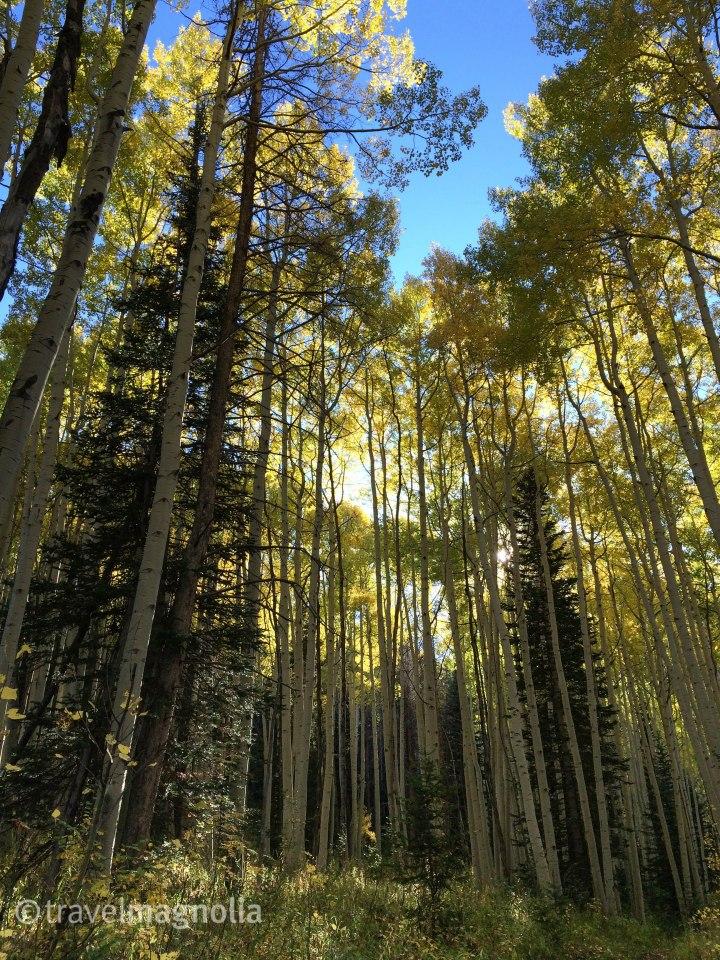 Fall Foliage, Aspen Trees