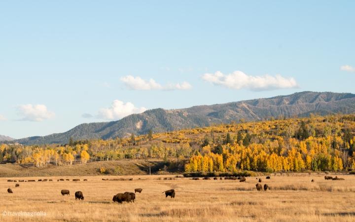 Bison, GTNP, Grand Teton National Park, Wyoming