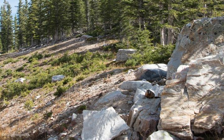 Marmot, Rock Chuck