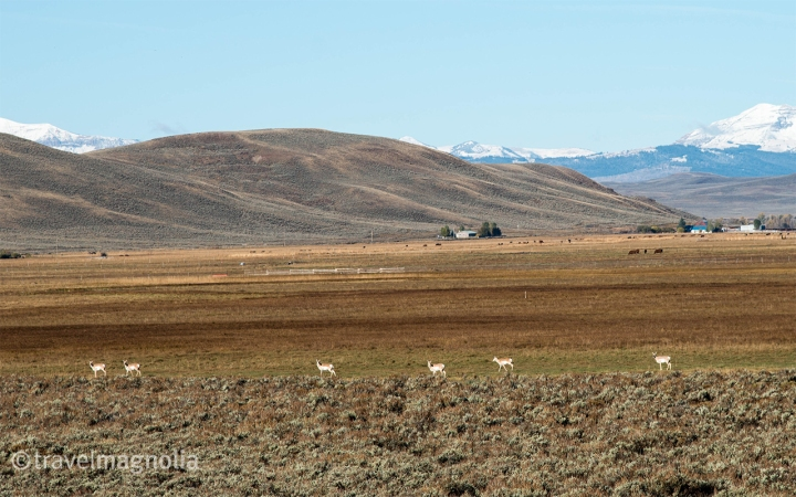 Pronghorn Antelope, Wyoming