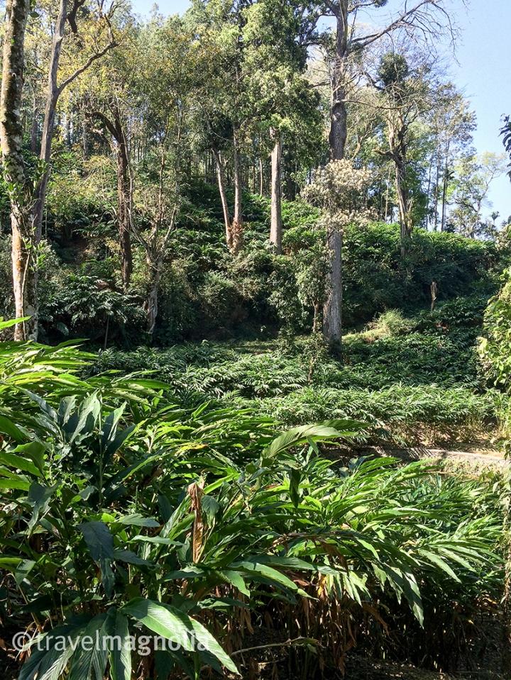 CardamomPlants_Munnar_Kerala