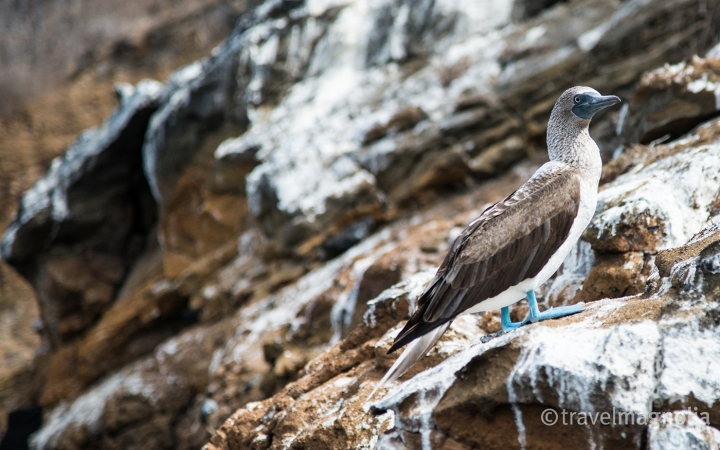 blue-footed-booby-with-guano