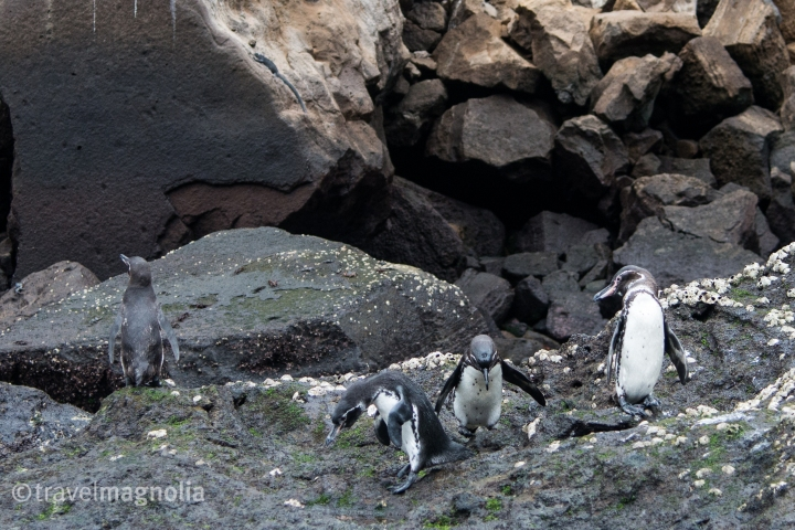 penguin-trio