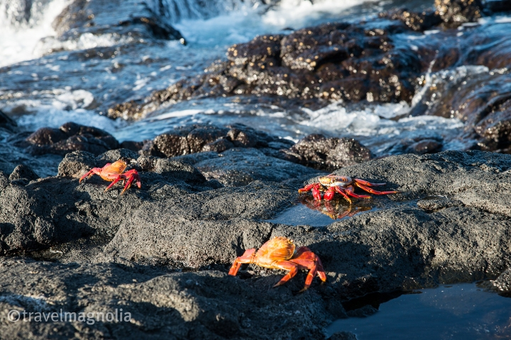 sally-lightfoot-crabs