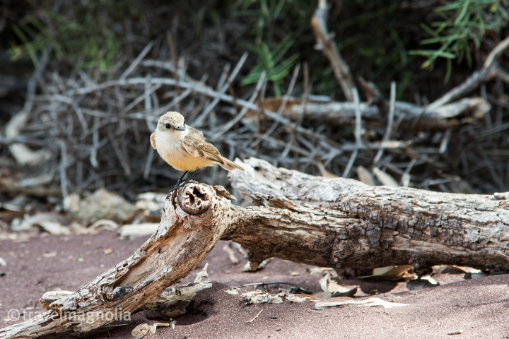 female-vermillion-flycatcher_rabidaisland_galapagos