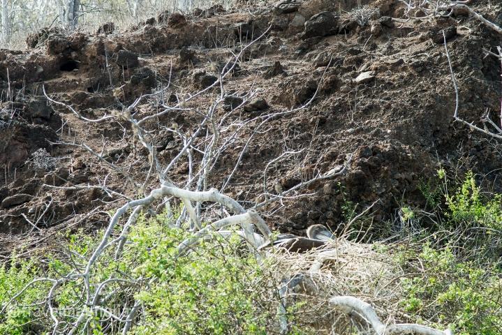 pelican_nesting_mangrove