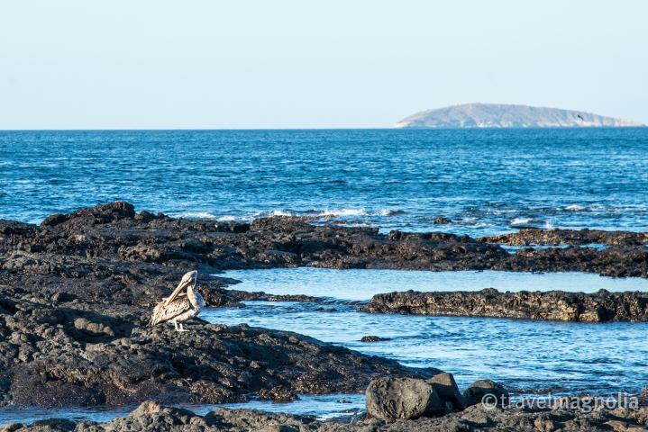 pelican_santiago