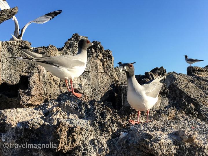 swallowtail-gulls