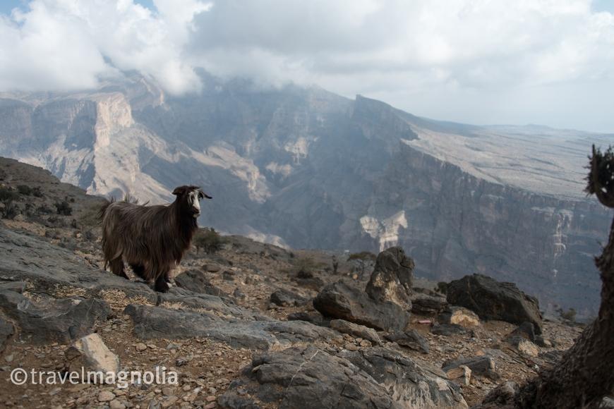 goats-do-roam