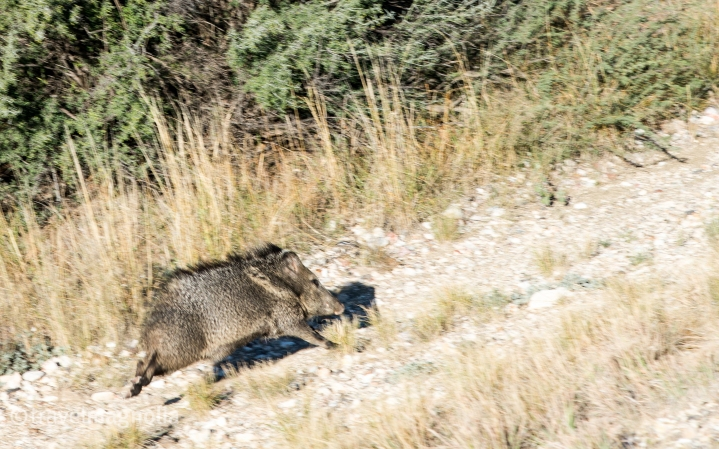 Javelina on the Run