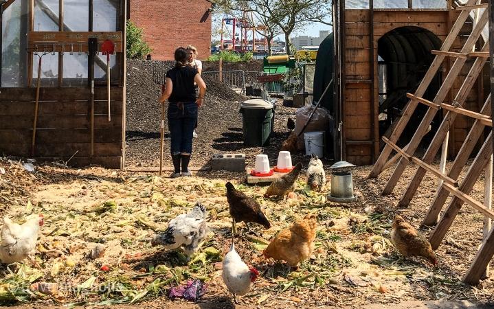 Hens in the Henhouse-3