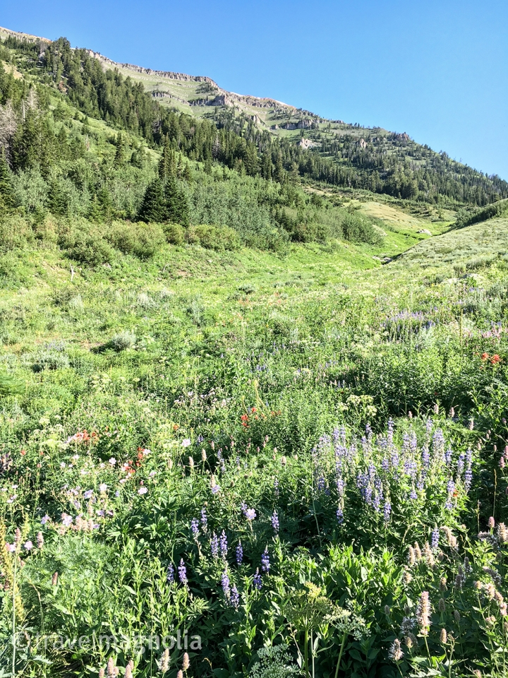 Coal Creek Meadow with Lupine and Sticky Geranium