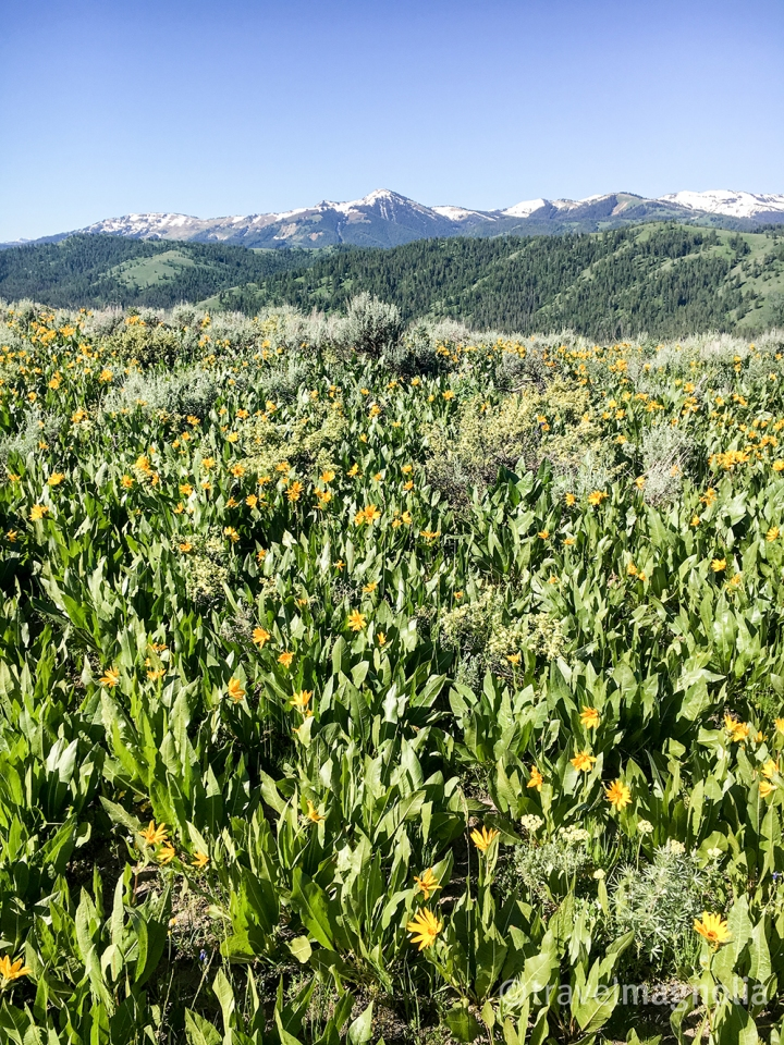 Munger Mountain Arrowleaf Balsamroot