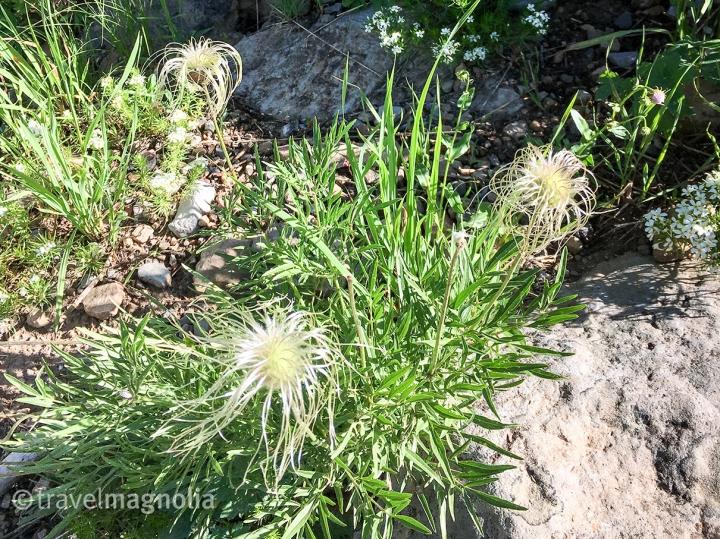 Sugarbowl_Clematis Hirsutissima_Hairy Clementis