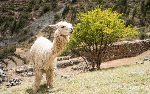 Alpaca at Pumamarca Ruins