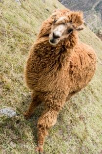 Pumamarca Brown Alpaca