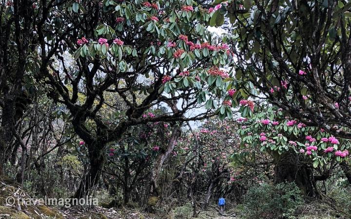 Phobjika_RhododendronForest