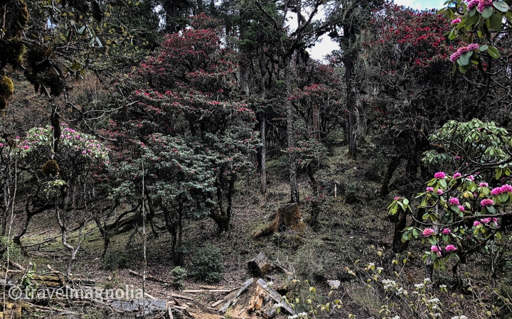 Phobjika_RhododendronForest2
